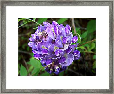 Framed Print featuring the photograph American Wisteria by William Tanneberger