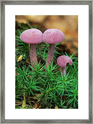 Amethyst Deceiver Framed Print by Thomas Marent