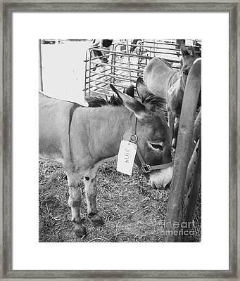 Amish Donkey At Action Framed Print by Eric  Schiabor