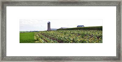 Amish Tobacco Field Being Harvested Framed Print