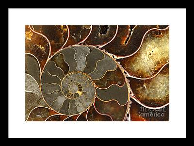 Fossilized Shell Framed Prints