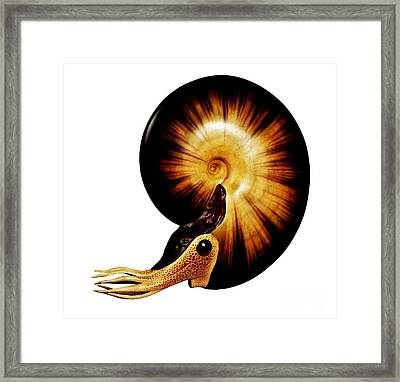 Ammonite Framed Print by Chase Studio