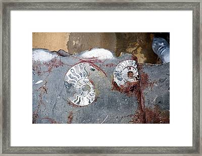 Ammonite Fossil Stone Framed Print by Photostock-israel