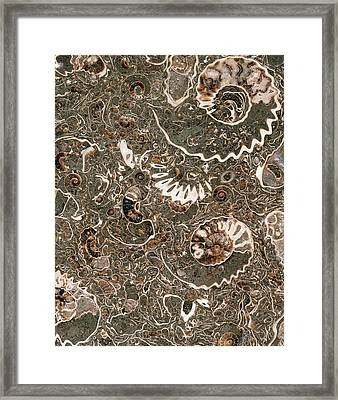 Ammonite Marble Framed Print by Natural History Museum, London/science Photo Library