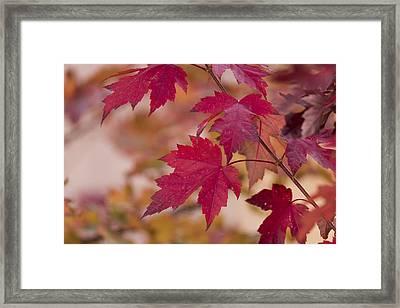 Among Maples Framed Print