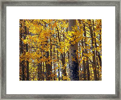 Among The Aspen Trees In Fall Framed Print by Amy McDaniel