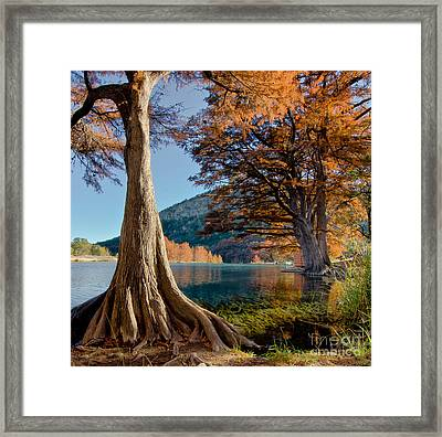 Among The Cypress Trees Framed Print