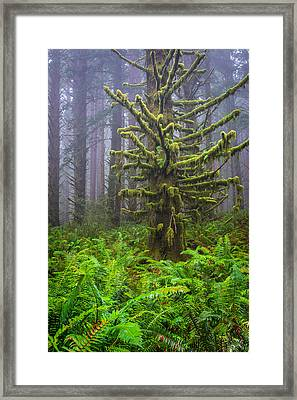 Among The Redwoods Framed Print by Mike  Walker