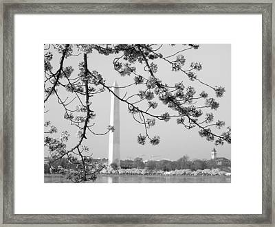 Amongst The Cherry Blossoms Framed Print