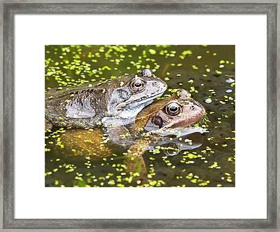 Amorous Frogs Framed Print