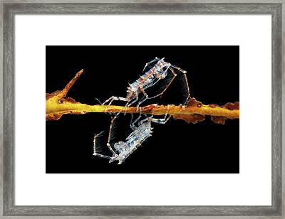 Amphipod Crustaceans Framed Print