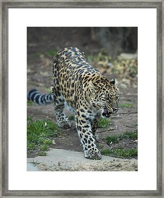 Amur Leopard Framed Print by Phil Abrams