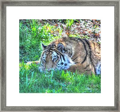 Amur Tiger 1 Framed Print by Jimmy Ostgard