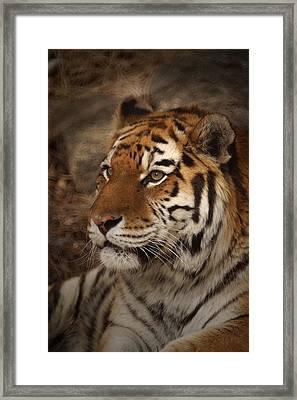 Amur Tiger 2 Framed Print