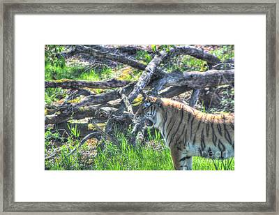 Amur Tiger 3 Framed Print by Jimmy Ostgard