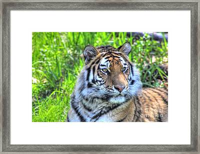 Amur Tiger 6 Framed Print