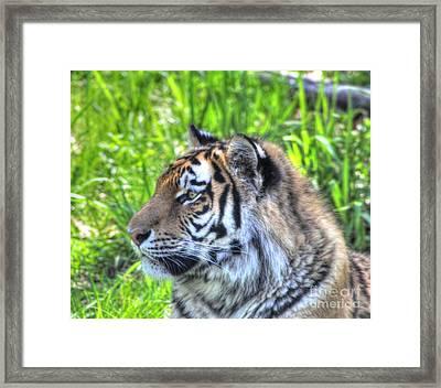 Amur Tiger 7 Framed Print by Jimmy Ostgard