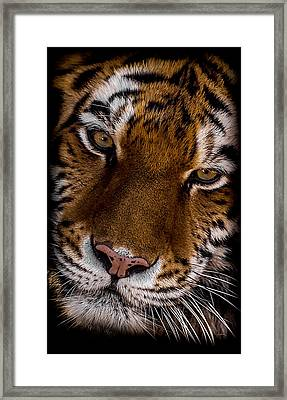 Amur Tiger Portrait Framed Print