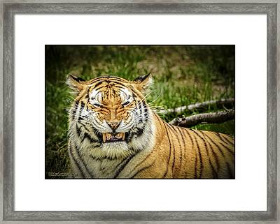 Amur Tiger Smile Framed Print by LeeAnn McLaneGoetz McLaneGoetzStudioLLCcom