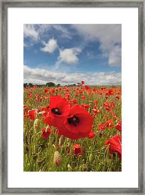 An Abundance Of Red Poppies In A Field Framed Print by John Short