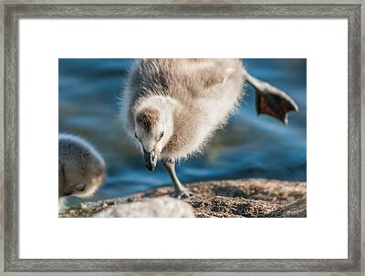 An Acrobatic Goose Framed Print by Janne Mankinen