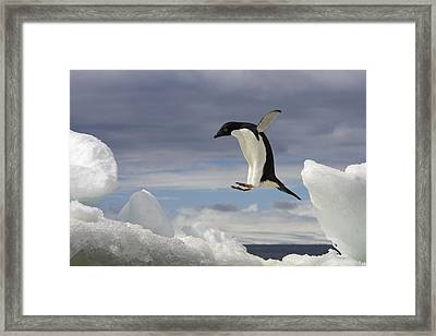 An Adelie Penguin, Pygoscelis Adeliae Framed Print by Ralph Lee Hopkins