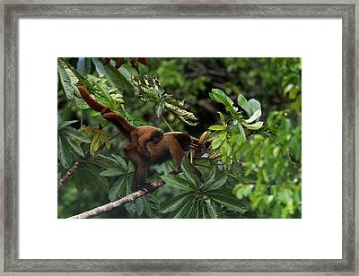 An Adult Woolly Monkey With Young Framed Print