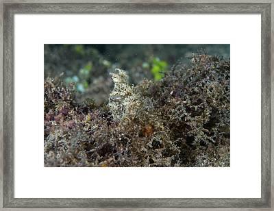 An Algae Octopus Hidden On Seabed Framed Print by Scubazoo