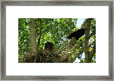 An Eagle And Its Young Framed Print