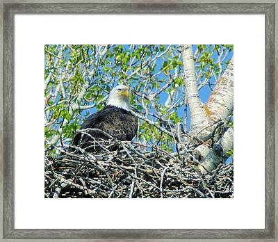 An Eagle In Its Nest  Framed Print