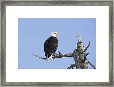 An Eagle Up On The Top Of A Dead Tree Framed Print by Doug Lindstrand