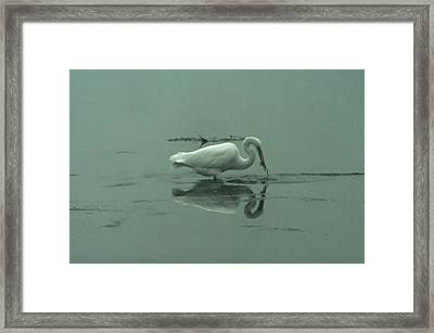 An Egret Feeding Framed Print by Jeff Swan