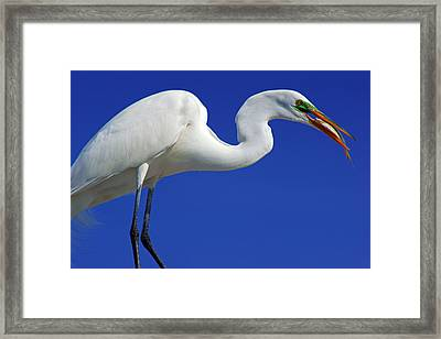 An Egret's Lunch Framed Print by Daniel Woodrum