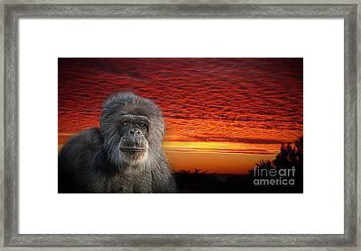 An Elderly Chimp At The End Of A Day  Framed Print
