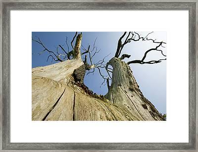 An Elm Tree Killed By Dutch Elm Disease Framed Print by Ashley Cooper