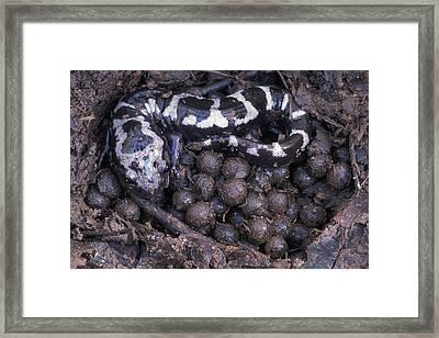 An Endangered Marbled Salamander Nests Framed Print