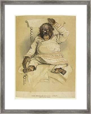 An Illustration Of An Orangutan Framed Print