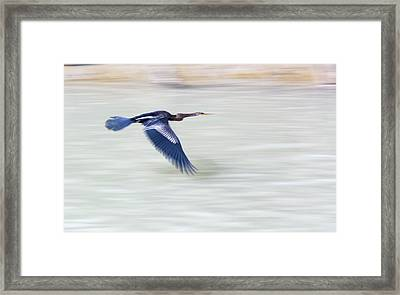 An Indian Darter (anhinga Melanogaster) Framed Print by Ashley Cooper