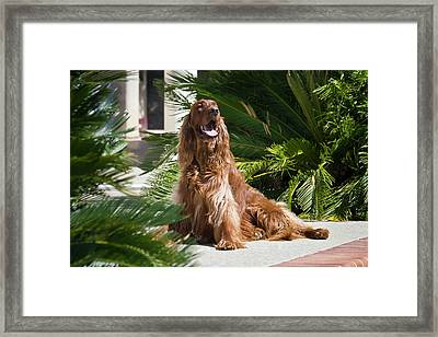 An Irish Setter Sitting An A Patio Framed Print