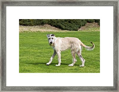An Irish Wolfhound Puppy Playing Framed Print by Zandria Muench Beraldo