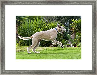 An Irish Wolfhound Puppy Running Framed Print by Zandria Muench Beraldo