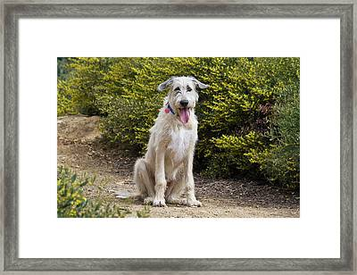 An Irish Wolfhound Puppy Sitting Framed Print by Zandria Muench Beraldo