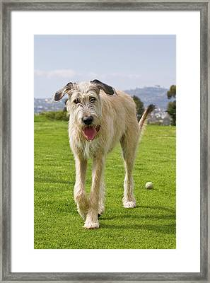 An Irish Wolfhound Puppy Walking Away Framed Print by Zandria Muench Beraldo