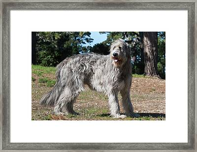 An Irish Wolfhound Standing In A Field Framed Print by Zandria Muench Beraldo