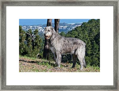 An Irish Wolfhound Standing On A Hill Framed Print by Zandria Muench Beraldo
