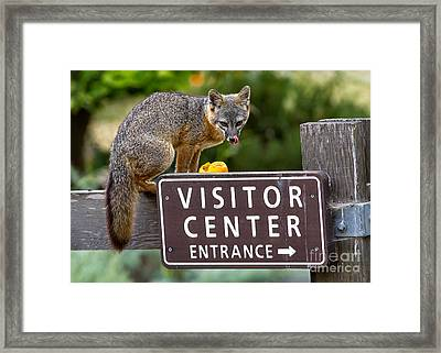 An Island Fox Welcome Framed Print by Kim Michaels