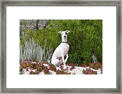 An Italian Greyhound Sitting Framed Print by Zandria Muench Beraldo