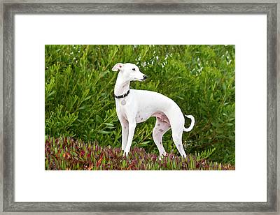 An Italian Greyhound Standing In Ice Framed Print by Zandria Muench Beraldo