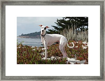An Italian Greyhound Standing Framed Print by Zandria Muench Beraldo