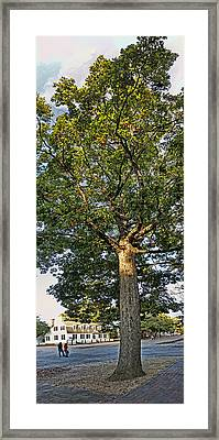 An Oak Tree In Colonial Williamsburg Framed Print by Gregory Scott